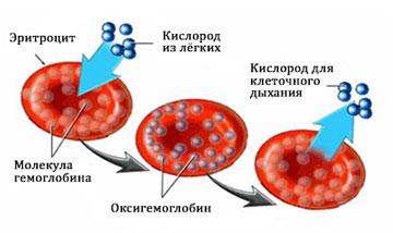 Гемоглобин схема