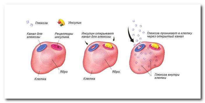 механим взаимодействия инсулина и глюкозы