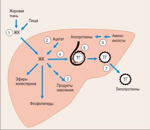 схема образования и секреции печенью триглицеридов